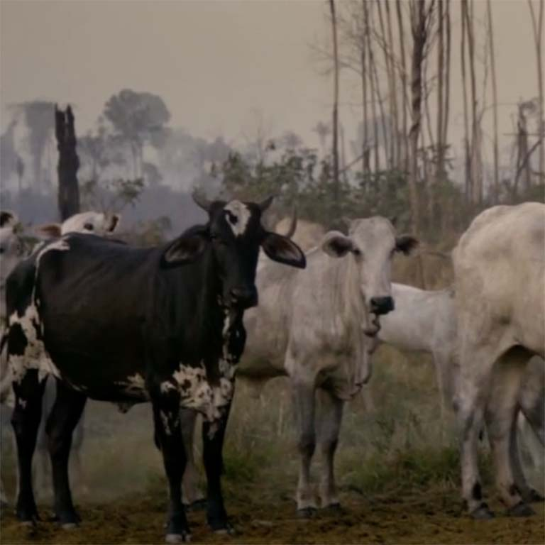 Herd of cattle in cleared Amazon forest area.